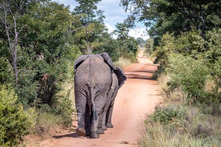 African elephant walking away on a road in the Welgevonden Game Reserve, South Africa.