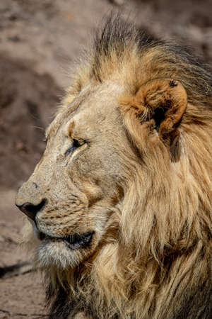 Close up of a big male Lion in the Welgevonden Game Reserve, South Africa.