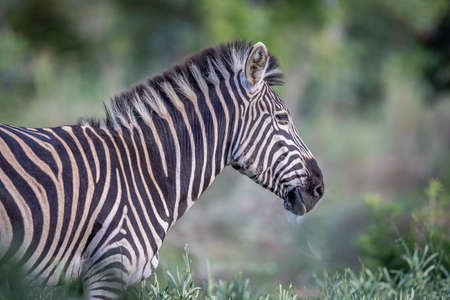 Side profile of a Zebra in the Welgevonden Game Reserve, South Africa.