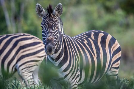 Zebra starring at the camera in the Welgevonden Game Reserve, South Africa. Stock Photo