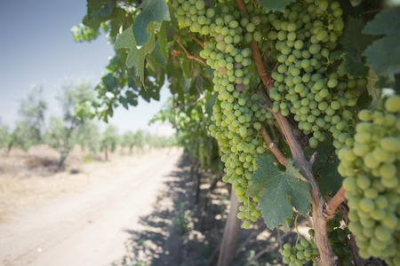 wine country: Southern Italy Vineyard Wine Country