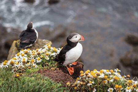 seabird: little seabird  puffin  in Iceland Stock Photo
