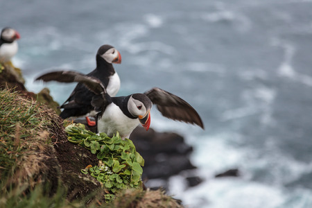 little seabird  puffin  in Iceland mooving wings photo