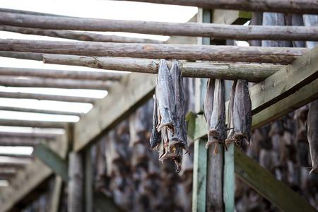 stockfish: Norwegian traditional stockfish drying on the sun