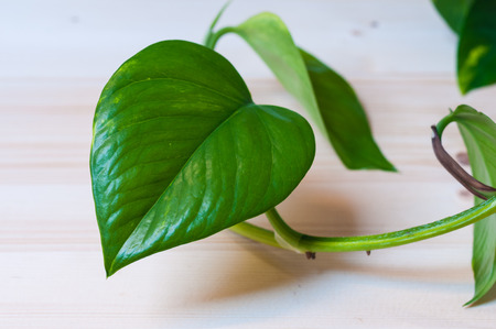 Detail of a  young Pothos leaf. Horizontal composition.