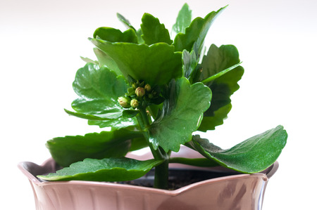 Detail of a budding Kalanchoe blossfeldiana. Selective focus on the buds.  Horizontal composition.
