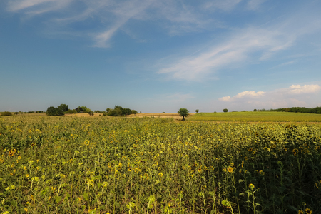 Rural landscape with sunflowers and trees