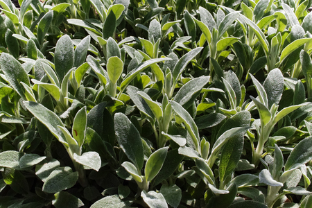 Stachys lanata (S. byzantina) foliage background.