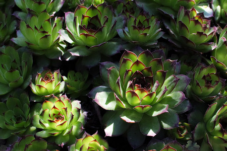 Sempervivum tectorum (common houseleek) foliage background. Stock Photo