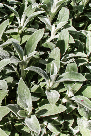 Stachys lanata (S. byzantina) foliage. Vertical composition.