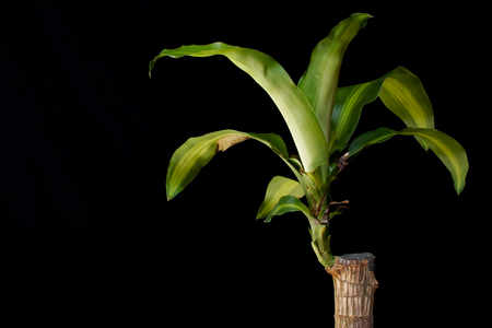 Dracaena fragrans on black background. Square composition.