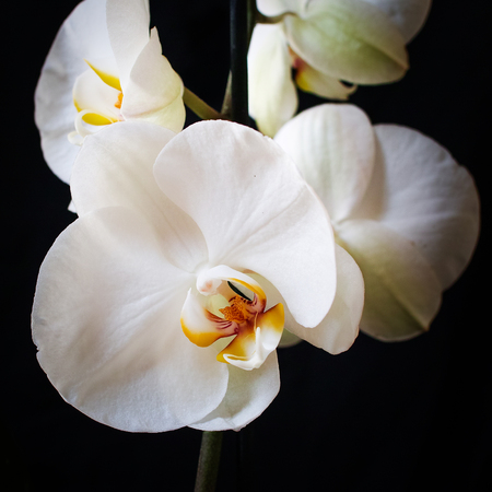 Beautiful white Phalaenopsis orchid isolated on black background. Square composition.