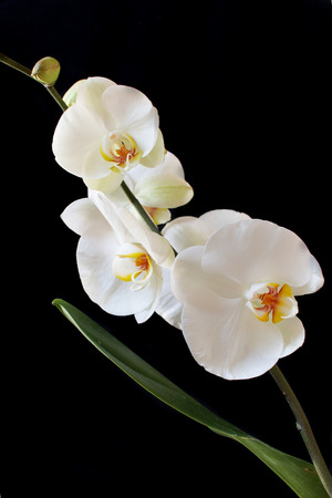 Beautiful white Phalaenopsis orchid isolated on black background. Vertical composition. Stock Photo