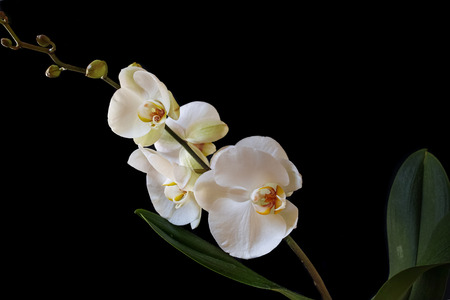 Beautiful white Phalaenopsis orchid isolated on black background. Horizontal composition.