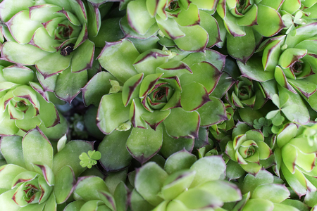 Sempervivum tectorum (common houseleek) foliage background. Selective focus on the center. Stock Photo