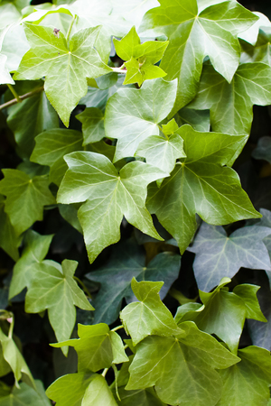 Hedera helix (common ivy) foliage. Vertical composition.