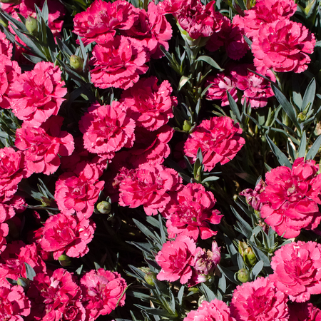 Dianthus caryophyllus (carnation) in a sunny xeriscape garden. Square composition.