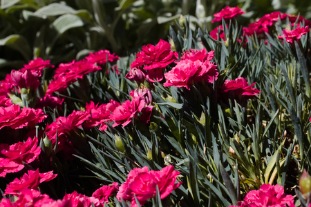 Dianthus caryophyllus (carnation) in a sunny xeriscape garden. 스톡 콘텐츠