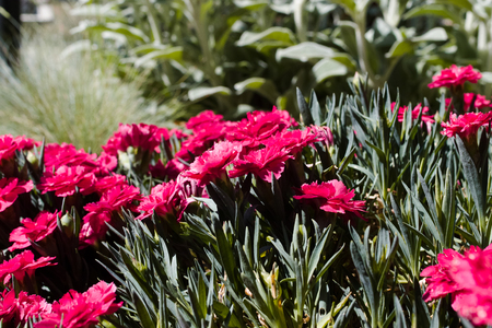 Dianthus caryophyllus (carnation) in a sunny xeriscape garden. Stock Photo