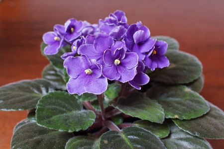 African violet (Saintpaulia) on a wood desktop. Stock Photo