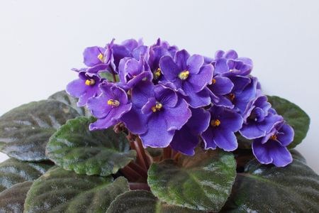 African violet (Saintpaulia) on white background. 스톡 콘텐츠