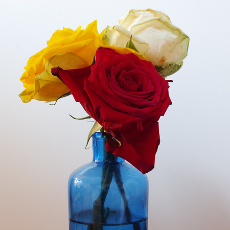 Three roses (red, white and yellow) on white background. Square composition.