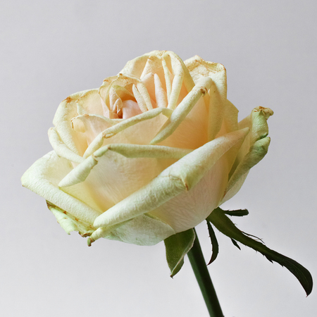 Single white rose on white background. Square composition. Soft focus. Stock Photo
