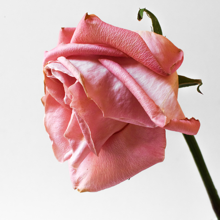 Single pink rose on white background. Square composition. Soft focus.