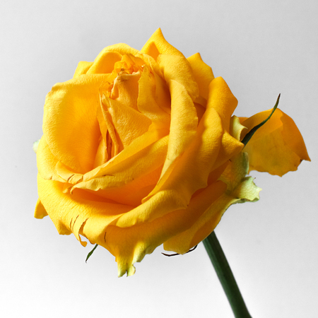 Single yellow rose on white background. Square composition. Soft focus.