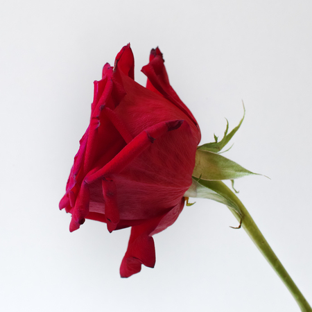 Single rose on white background. Square composition. Soft focus. 스톡 콘텐츠