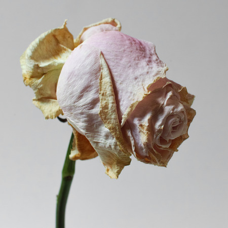 Single dried rose on white background. Square composition. Soft focus. 스톡 콘텐츠