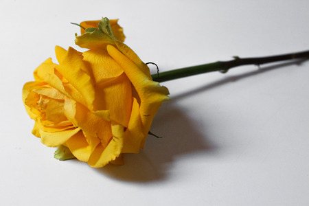 Single yellow rose on white background. Horizontal composition. Soft focus. 스톡 콘텐츠