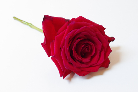 Single rose on white background. Horizontal composition. Soft focus.