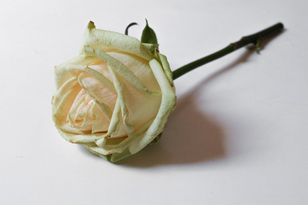 Single white rose on white background. Horizontal composition. Soft focus.