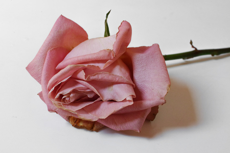 Single pink rose on white background. Horizontal composition. Soft focus. 스톡 콘텐츠