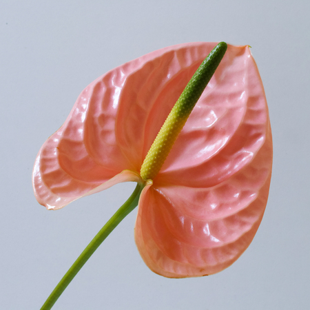 Pink anthurium on white background. Square composition.