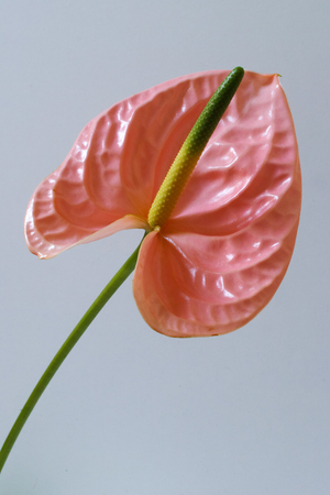 Pink anthurium on white background. Vertical composition. Stock Photo