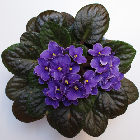 African violet (Saintpaulia) on white background. Square composition. Top view.