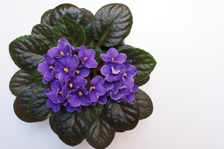 African violet (Saintpaulia) on white background. Horizontal composition. Top view.