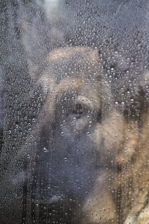 A German Shepherd Dog is looking through a window with raindrops on a cold winter day with a sad look