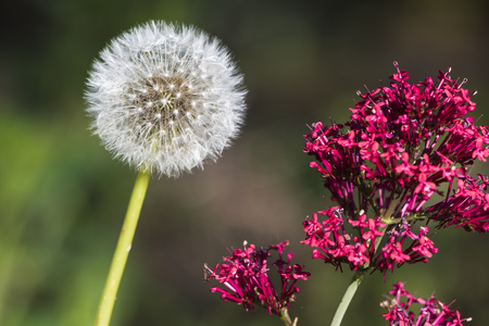 A dying dandelion Seed Head  is leaning towards the red flower which is in the beauty of its existence.