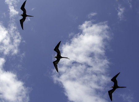 A flock of Galapagos Frigates soars in formation