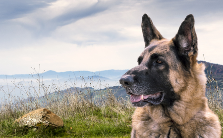 Alert German Shepherd Dog Sitting outdoors on a hill with view of other mountains. Comosition.