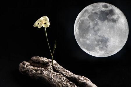 Fleur blanche délicate debout sur un morceau de vieux bois de plage se penchant loin de la lune sur fond noir