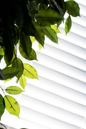 Green Leafs against white blinds in the afternoon sun. Abstract concept