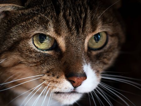 Tabby cat with yellow eyes looks fearful. Mental and emotional problems of cats