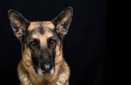 Oudere Duitse herdershond man mooi hoofd geschoten op zwarte achtergrond met kopie ruimte