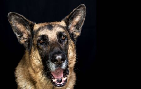 Older German Shepherd Dog Male yawning beautiful Head Shot on black background with copy space