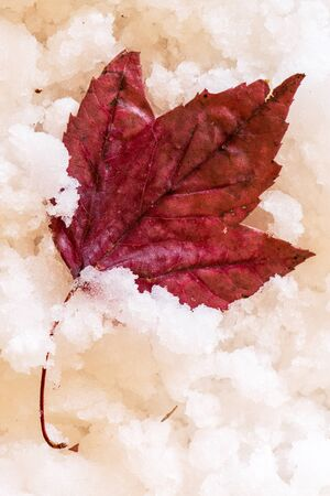 REd Autumn Leaf in Show.  WInter or Fall Concept