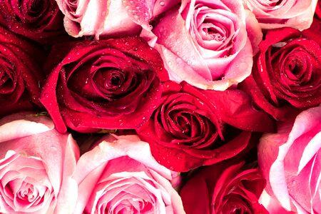 rode en roze rozen bouque. Zachte bloemen voor achtergrond met regendruppels